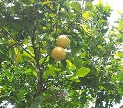 לימונים מהעץ בגינה