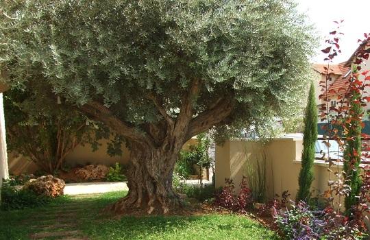 עץ זית בגינה