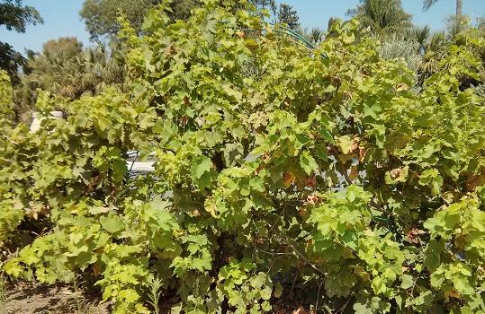 סופר לשתול גפן בגינה – איך, מדוע ולמה?   עיצוב גינות בוטיק I אאוטסייד HZ-51