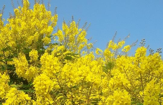פריחה צהובה מרהיבה